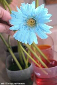 Fun, hands on science experiment using flowers that teaches capillary action