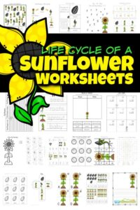 Life-cycle-of-a-sunflower-worksheet