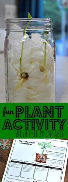 Plant Activities for Kindergarten!! Fun, easy science experiment to teach kids about parts of a plant while learning about seeds and germination. Includes FREE Parts of a play worksheet and experiment guide #science #kindergarten #plants