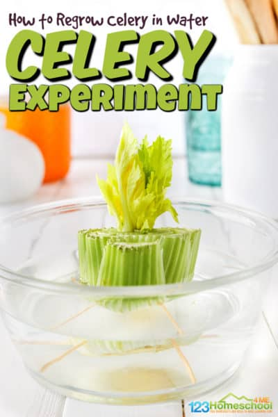 Did you know you can regrow celery? Unlike most vegetables that need a seed to grow, you can work on growing celery in water from what is leftover from the celery stalk. If you are exploring plants in your kindergarten scienceyou will love this simple, but fascinating celery experiment. Toddler, preschool, pre-k, kindergarten, first grade, 2nd grade, and 3rd grade students can easily learnhow to grow celery in water.